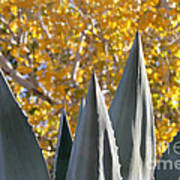 Agave Spikes In Autumn Poster