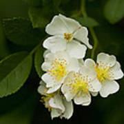 Alabama Wildflower Roses - Rosa Multiflora Poster