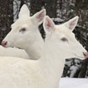 Albino White Tailed Deers Poster