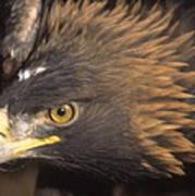 Alert Golden Eagle Poster