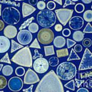 Algae, Fossil Diatoms, Lm Poster by M. I. Walker