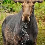 Algonquin Bull Poster