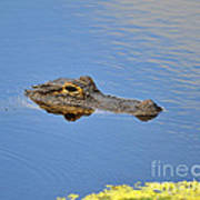 Alligator Afloat Poster