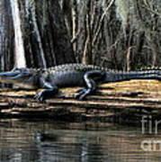 Alligator Sunning Poster
