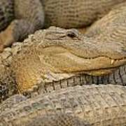 Alligators Poster