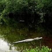 Alligators In The Evergaldes Poster