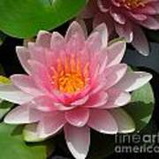 Almost Two Pink Water Lilies Poster