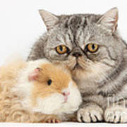 Alpaca Guinea Pig And Silver Tabby Cat Poster