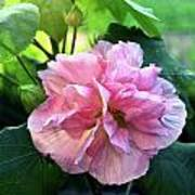 Althea Rose Of Sharon Poster