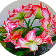 Amaryillis Flower Ring Poster