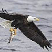 American Bald Eagle-5 Poster