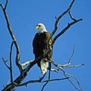 American Bald Eagle Haliaeetus Poster