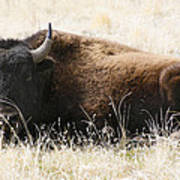 American Bison 2 Poster