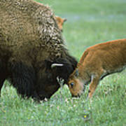 American Bison Cow And Calf Poster