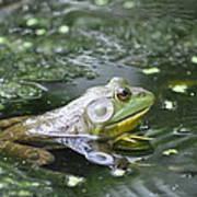 American Bull Frog Poster