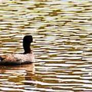 American Coot Floating By Poster
