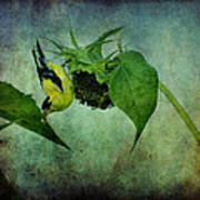 American Goldfinch II Poster