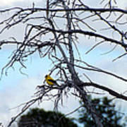 American Goldfinch In Tree Poster