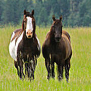 American Paint Stallion And Mare Poster