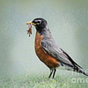American Robin With Worms Poster