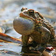 American Toad Croaking Poster