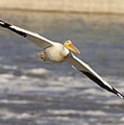 American White Pelican Pelecanus Poster