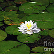 American White Waterlily Poster