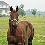 Amish Horse Poster