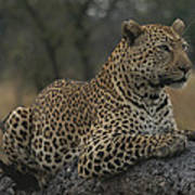 An Alert Leopard Rests On A Fallen Tree Poster