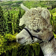 An Alpaca In Vail Poster