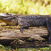 An American Alligator On A Log Poster