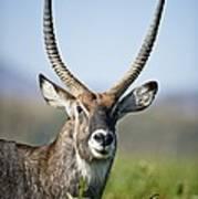 An Antelope Standing Amongst Tall Poster