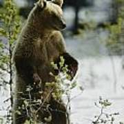 An Brown Bear Ursus Arctos Runs Poster