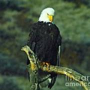 An Eagle Staring Poster