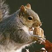 An Eastern Gray Squirrel Sciurus Poster