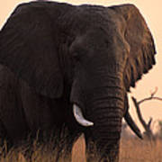 An Elephant In The Okavango Delta Poster