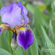 An Iris Blossom Poster