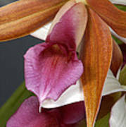 An Orchid, Probably A Cattleya Hybrid Poster