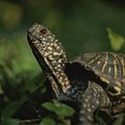An Ornate Box Turtle Surveys Poster