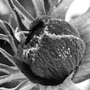 Anemone De Caen Or Poppy Anemone Poster