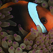 Anemonefish In Purple Tip Anemone Poster