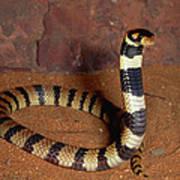 Angolan Coral Snake Defensive Display Poster