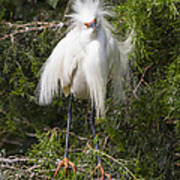 Angry Bird Snowy Egret In Breediing Plumage Poster