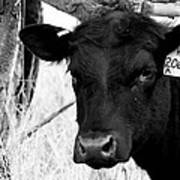 Angus Cow In Black And White Poster by Tam Graff