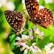 Anica Checkerspot On Dogbane Poster