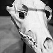 Animal Skull Poster