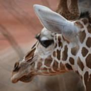 Another Giraffe Poster