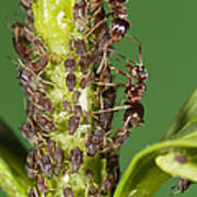 Ant Formicidae Pair Protecting Aphids Poster