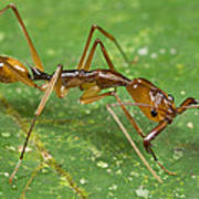 Ant Showing Large Mandibles Guyana Poster