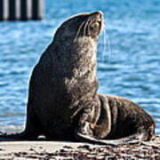 Antarctic Fur Seal 06 Poster